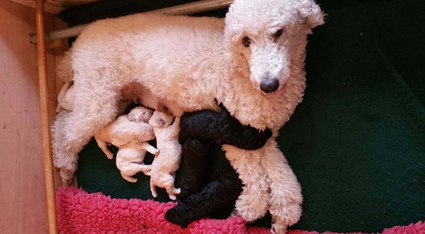 40-amazing-poodle-dog-puppy-pictures-40