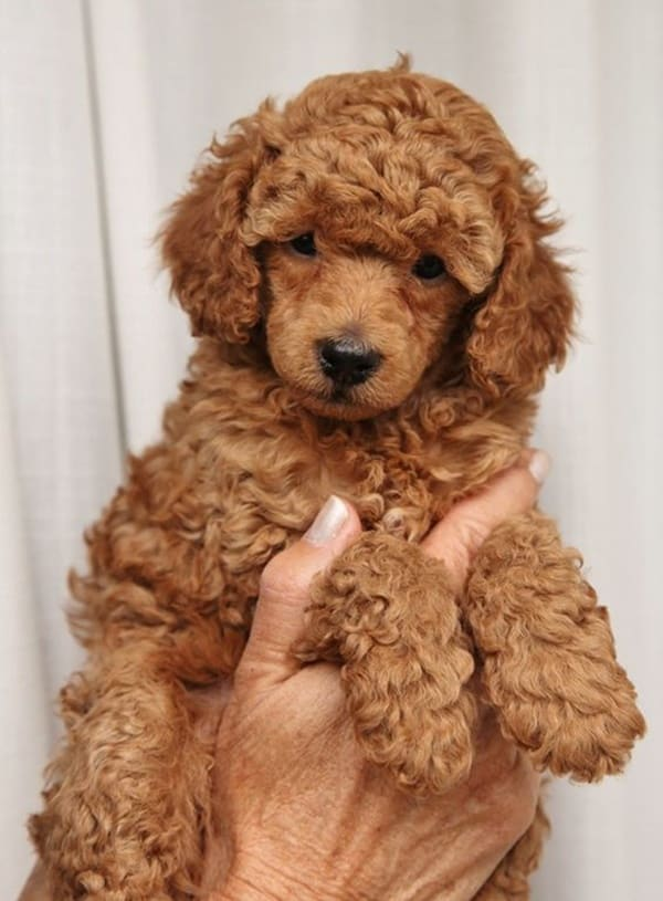 40-amazing-poodle-dog-puppy-pictures-8