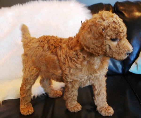 40-amazing-poodle-dog-puppy-pictures-9