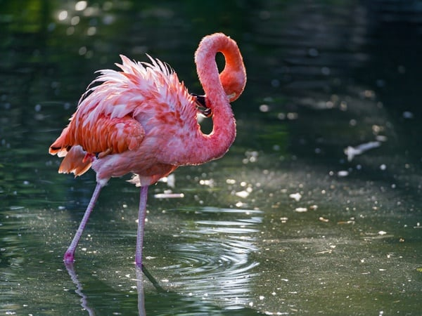40-beautiful-pictures-of-pink-flamingo-birds-14