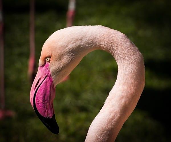 40-beautiful-pictures-of-pink-flamingo-birds-21