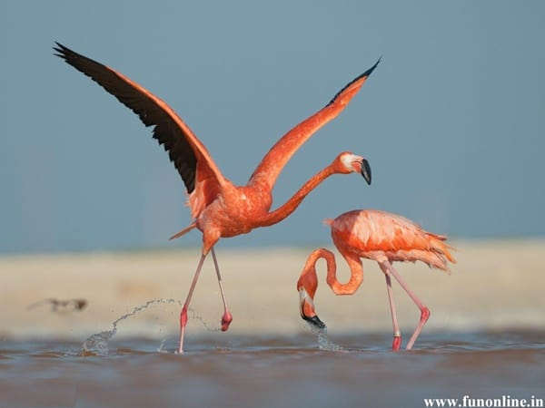40-beautiful-pictures-of-pink-flamingo-birds-38