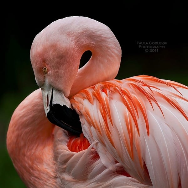 40-beautiful-pictures-of-pink-flamingo-birds-5