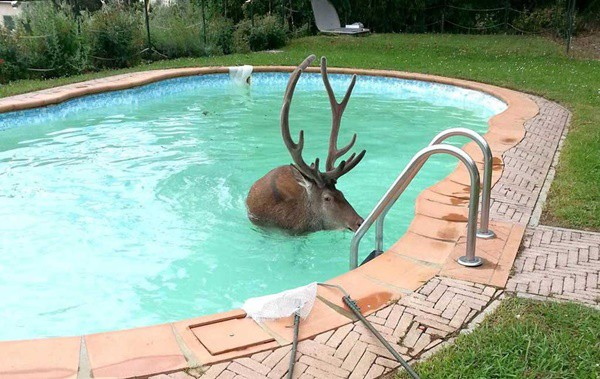 40-pictures-of-animals-chilling-in-pools-15