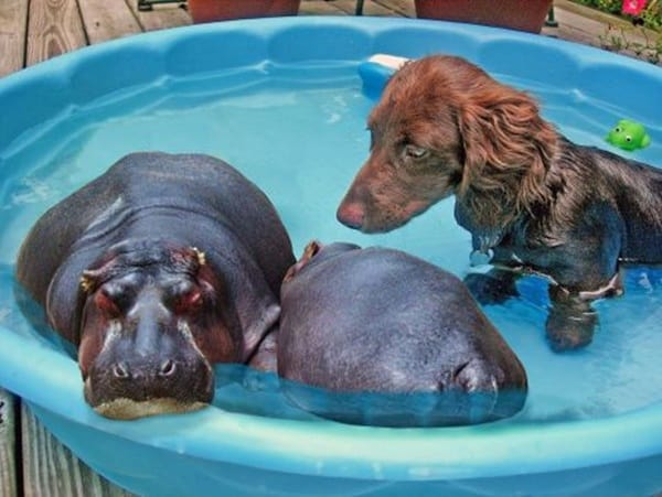 40-pictures-of-animals-chilling-in-pools-29