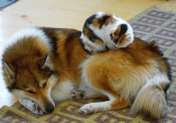 40-pictures-of-cats-on-tops-of-dogs-13