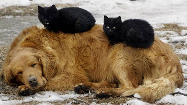 40-pictures-of-cats-on-tops-of-dogs-14