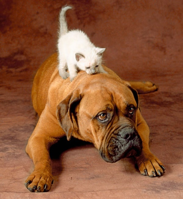 40-pictures-of-cats-on-tops-of-dogs-2