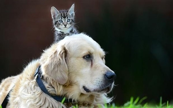 40-pictures-of-cats-on-tops-of-dogs-27