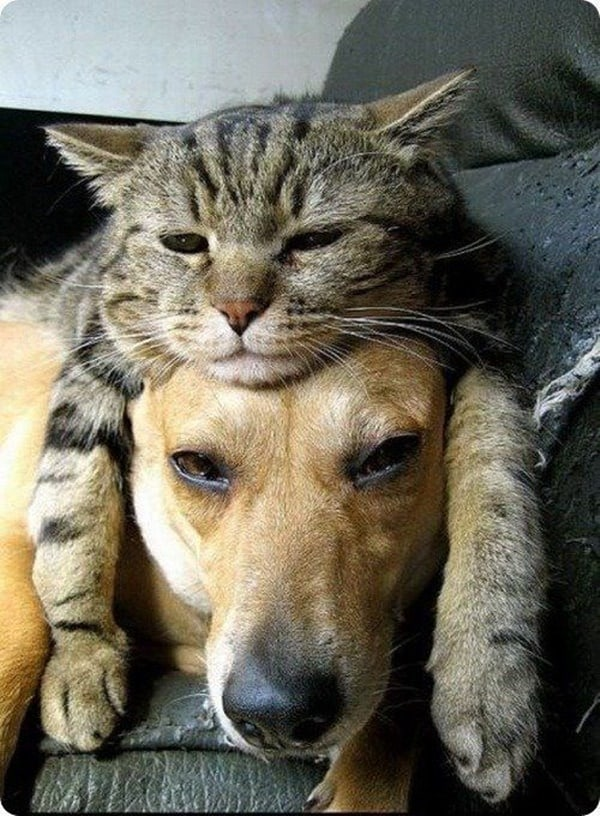 40-pictures-of-cats-on-tops-of-dogs-3