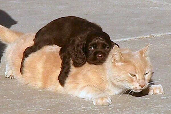 40-pictures-of-cats-on-tops-of-dogs-31