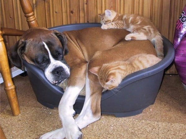 40-pictures-of-cats-on-tops-of-dogs-32