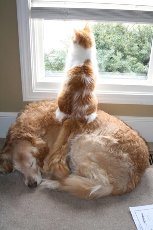 40-pictures-of-cats-on-tops-of-dogs-4