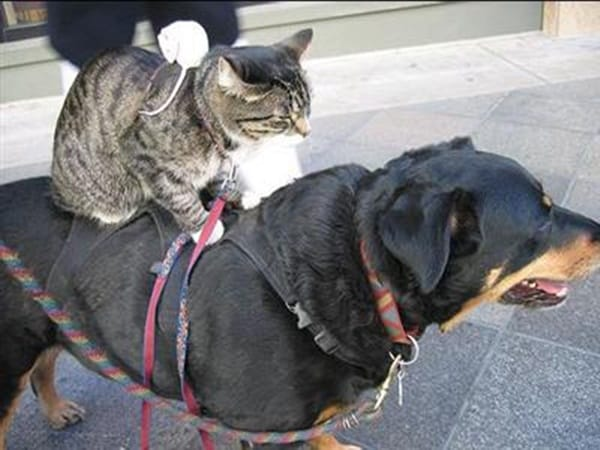 40-pictures-of-cats-on-tops-of-dogs-7