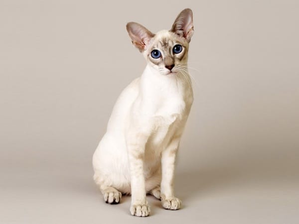 10-breeds-of-cat-that-stay-small-1