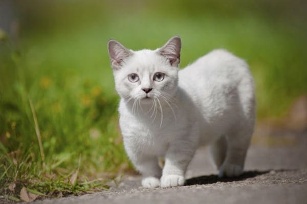 10-breeds-of-cat-that-stay-small-3