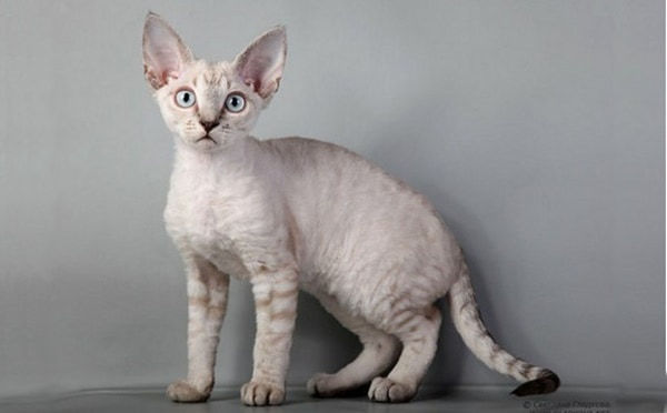 10-breeds-of-cat-that-stay-small-4