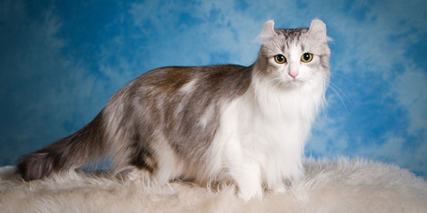 10-breeds-of-cat-that-stay-small-8