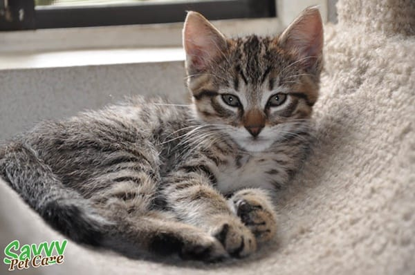 10-famous-striped-cat-breeds-in-the-world-6