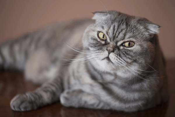 10-famous-striped-cat-breeds-in-the-world-7