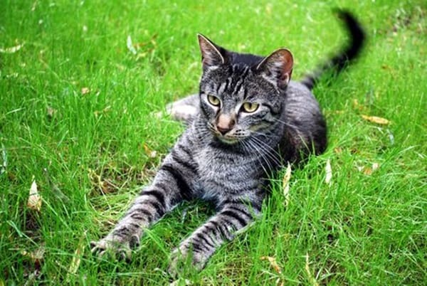 10-famous-striped-cat-breeds-in-the-world-8