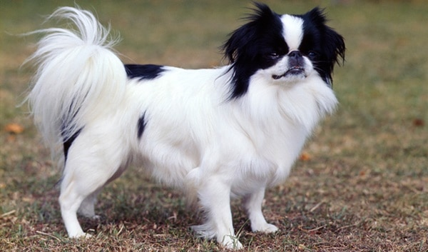 10 Popular Small Long Haired Dog Breeds Tail And Fur