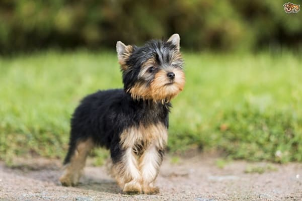 10-popular-small-long-haired-dog-breeds6