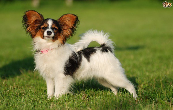 10-popular-small-long-haired-dog-breeds8