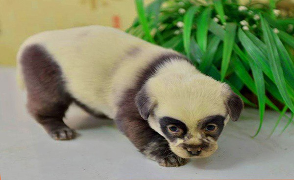 40-fluffy-pictures-of-puppies-that-looks-like-pandas-1