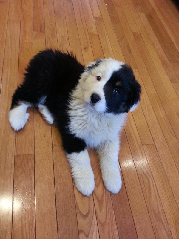 40-fluffy-pictures-of-puppies-that-looks-like-pandas-15