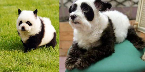 40-fluffy-pictures-of-puppies-that-looks-like-pandas-18