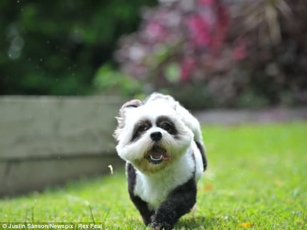 40-fluffy-pictures-of-puppies-that-looks-like-pandas-23