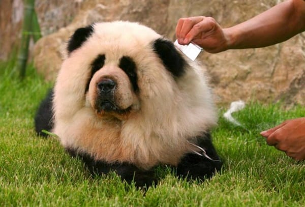 40-fluffy-pictures-of-puppies-that-looks-like-pandas-27