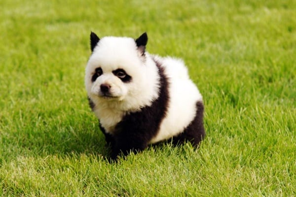 40-fluffy-pictures-of-puppies-that-looks-like-pandas-30