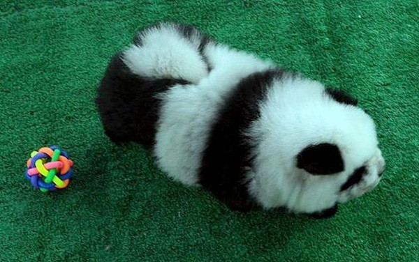 40-fluffy-pictures-of-puppies-that-looks-like-pandas-34