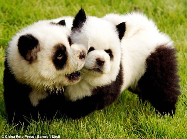 40-fluffy-pictures-of-puppies-that-looks-like-pandas-7