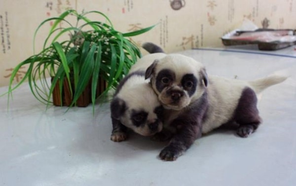 40-fluffy-pictures-of-puppies-that-looks-like-pandas-8