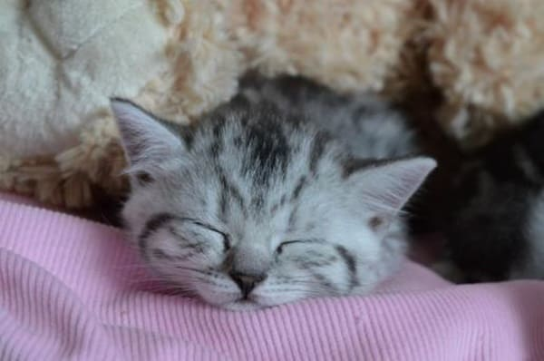 40-pictures-of-cute-silver-tabby-kittens-19