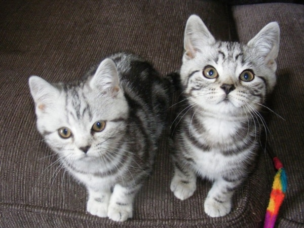40-pictures-of-cute-silver-tabby-kittens-2