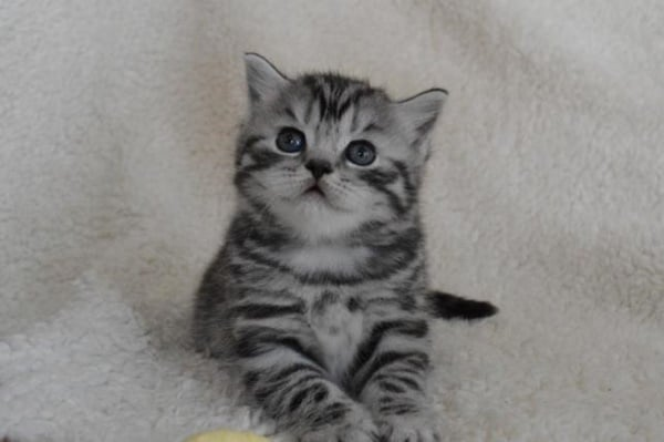 40-pictures-of-cute-silver-tabby-kittens-20