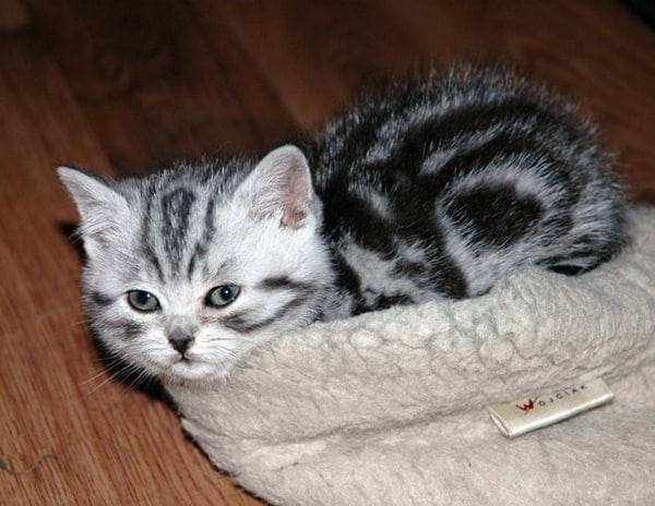 40-pictures-of-cute-silver-tabby-kittens-21