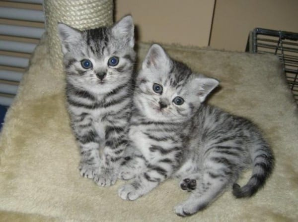 40-pictures-of-cute-silver-tabby-kittens-23