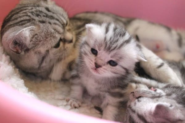 40-pictures-of-cute-silver-tabby-kittens-25