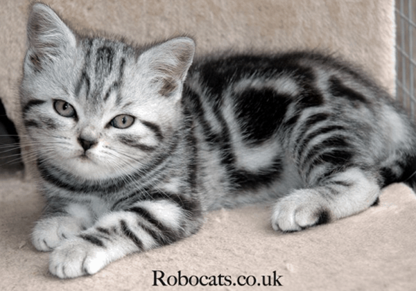 40-pictures-of-cute-silver-tabby-kittens-26