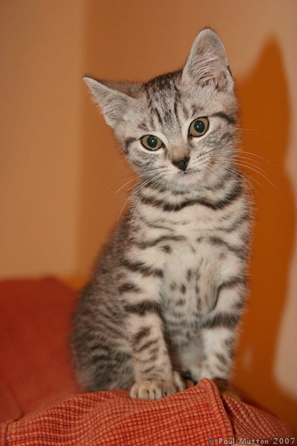 40-pictures-of-cute-silver-tabby-kittens-29