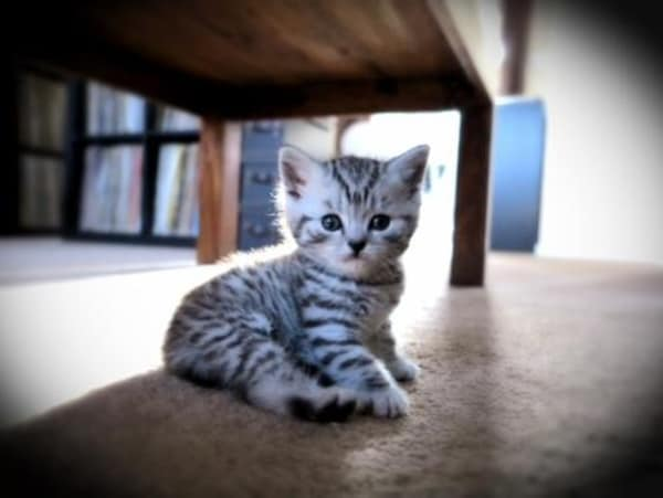 40-pictures-of-cute-silver-tabby-kittens-3