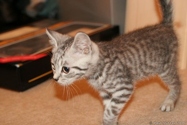 40-pictures-of-cute-silver-tabby-kittens-30