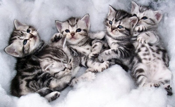 40-pictures-of-cute-silver-tabby-kittens-31