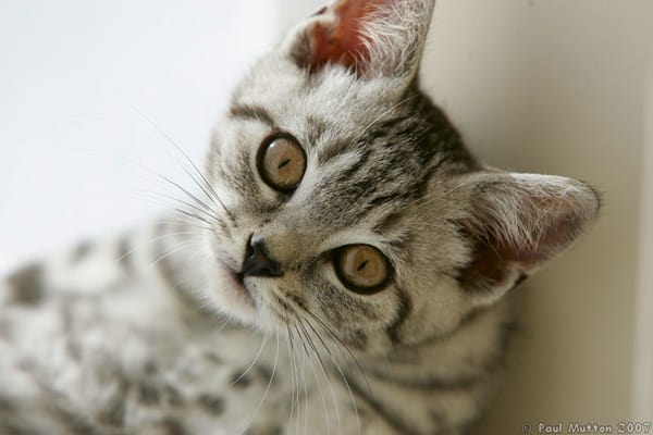 40-pictures-of-cute-silver-tabby-kittens-35