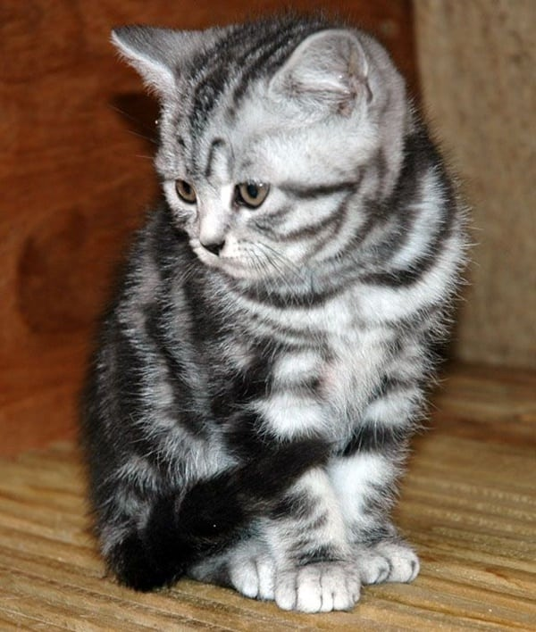 40-pictures-of-cute-silver-tabby-kittens-4